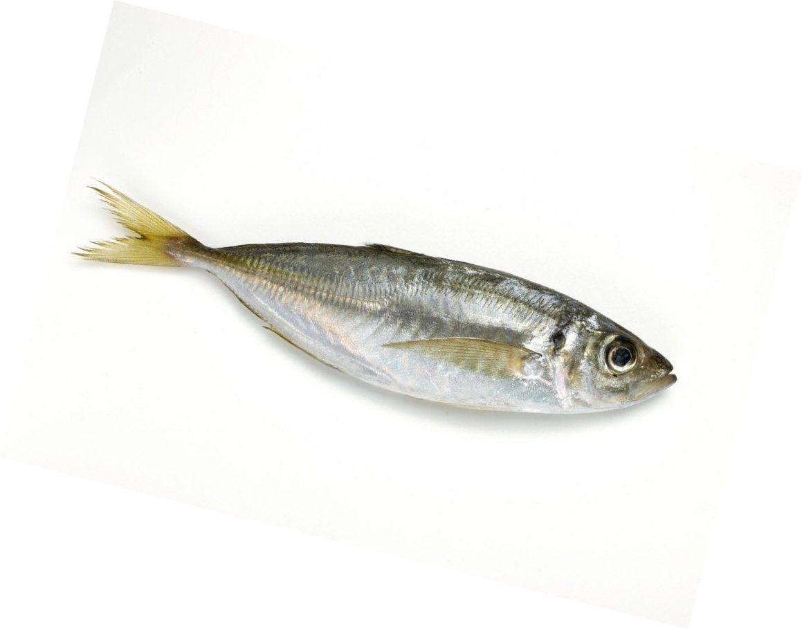 Рыба ставрида картинки